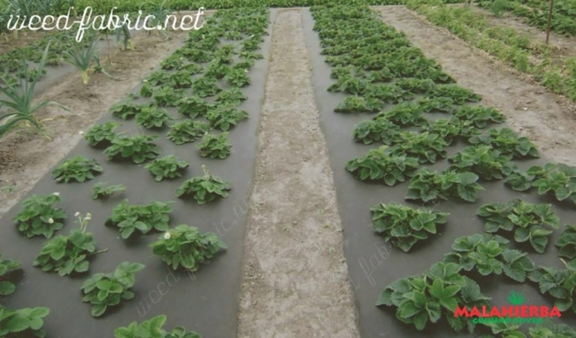 groundcover working as anti-weed crop