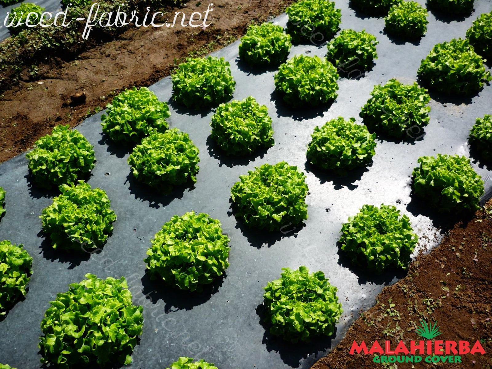 crops using the ground cover.