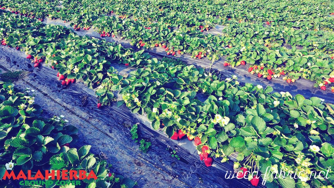 strawberry crops using the Ground cover.