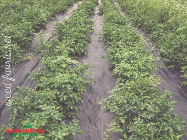 Ground cover rows weed protection for crops in cropfiled.