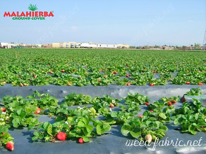 weed fabric used for protection of strawberry field