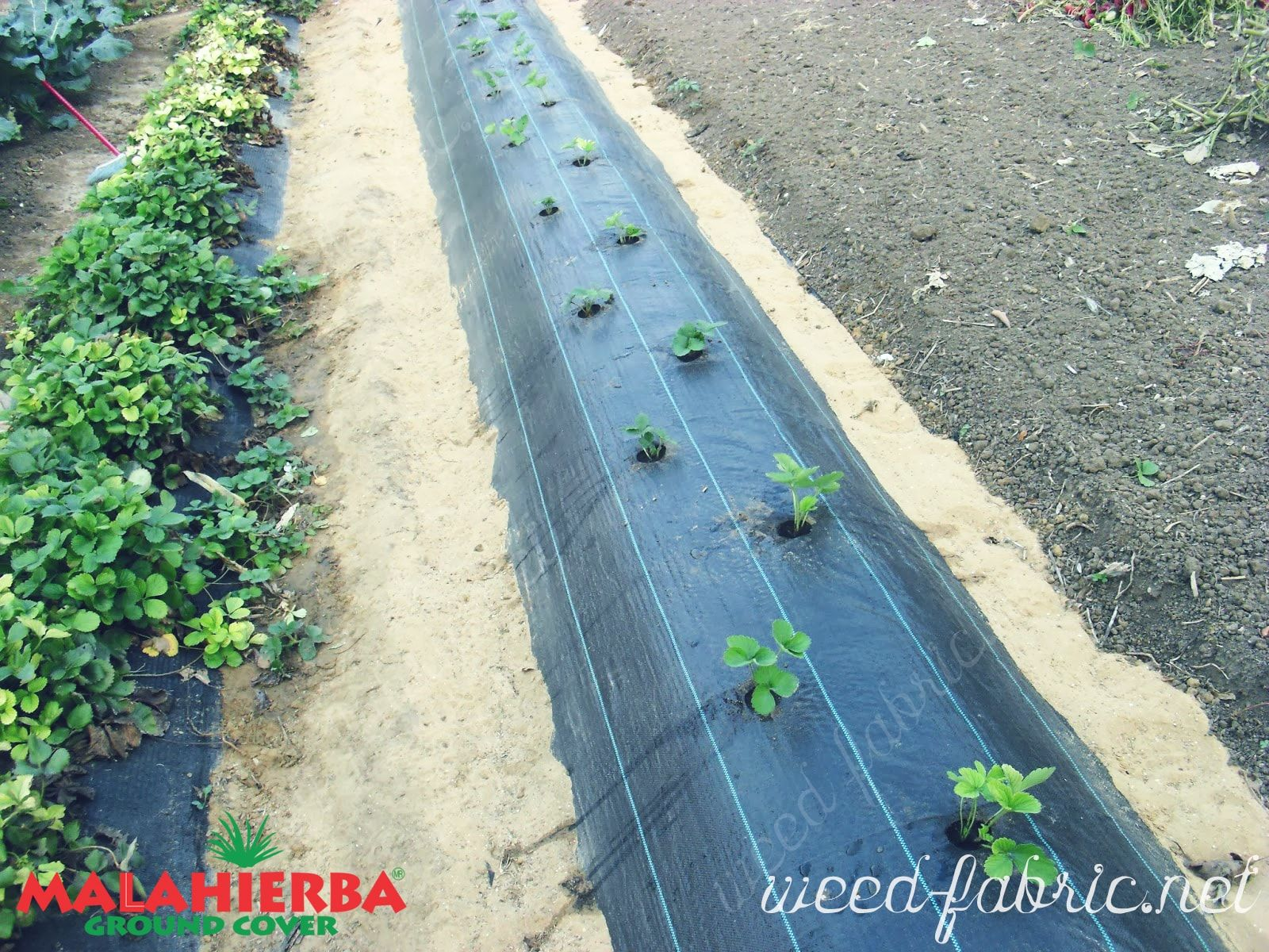 ground cover installed for protect crop.